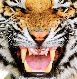 Tiger-Face-Pictures